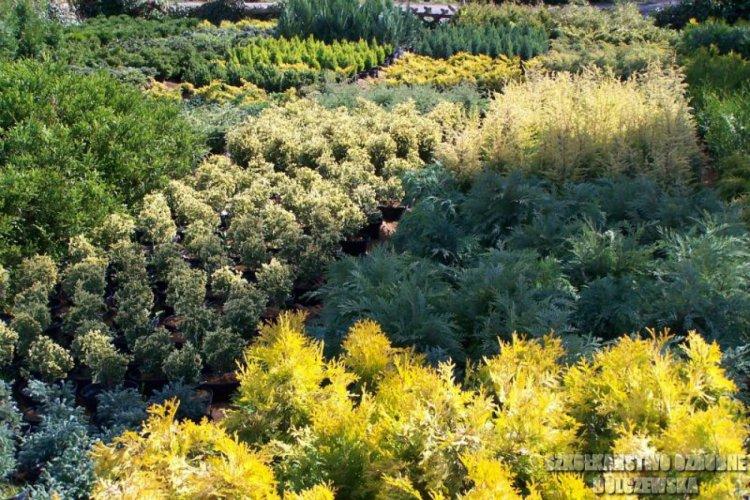 Zagon z roślinami iglastymi