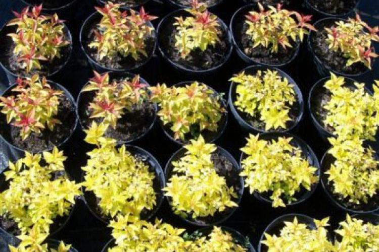 Spiraea japonica Gold Flame i Golden Princess Tawula japońska