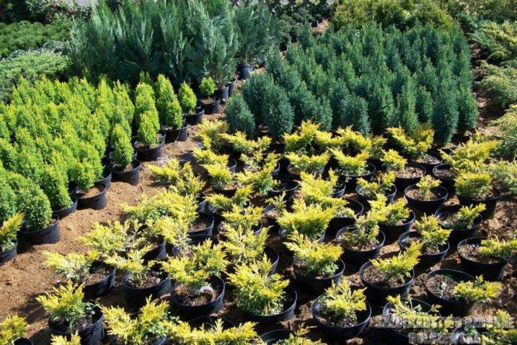 Juniperus horizontalis Lime Glow Jałowiec płożący