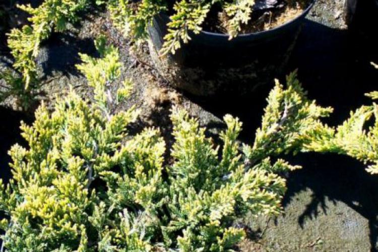 Juniperus horizontalis Golden Carpet Jałowiec płożący