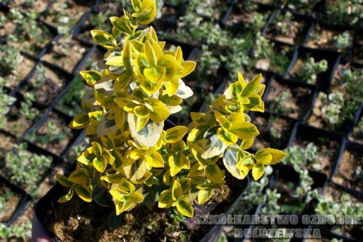 Euonymu fortuneii Emerald Gold Trzmielina Fortune